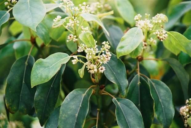 常见校园植物名录常绿乔木名称